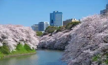 万人齐种樱花树,打造城市级滨江风景线