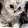 baby_face_cat