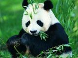 搞事情?最炫熊猫风狂热来袭