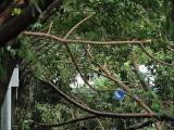 台风中深圳万树倒伏真相:树种不是头重脚轻就是材质疏松