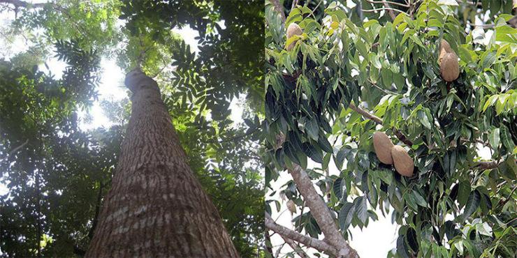 实木家具材质之桃花心木:哪一个是真的?